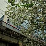 京成電車とハナミズキ