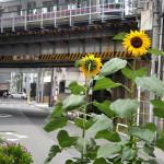 【Tokyo Train Story】ひまわり夏気分