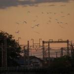 【Tokyo Train Story】鳥の群れが線路上を飛ぶ