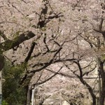 【Tokyo Train Story】桜回廊の向こう側