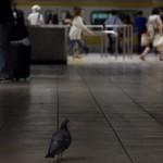 【Tokyo Train Story】駅のホームに鳩一羽