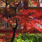 【Tokyo Train Story】飛鳥山公園の紅葉(都電6000型)