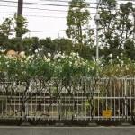 【Tokyo Train Story】冬のバラ(都電荒川線)