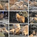 11月24日(日)まで開催されている埼玉県こども動物自然公園カピバラフォトコンテスト写真展にとくとみのカピバラ写真も2点展示されています!
