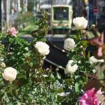 【Tokyo Train Story】陽の光をたっぷり浴びるバラ(都電荒川線)