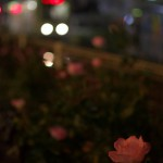 【Tokyo Train Story】夜のバラ(都電荒川線)