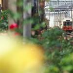 【Tokyo Train Story】バラに囲まれた三ノ輪橋電停(都電荒川線)