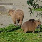 食事の後の歯磨きはカピバラにとっての嗜みです 上野動物園のカピバラ一家観察日記 その4