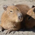 仔カピバラのお遊びタイムと食後の食事(笑) 上野動物園のカピバラ一家観察日記 その5