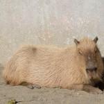 はじめまして!上野の2頭の仔カピバラです! 上野動物園のカピバラ一家観察日記 その1