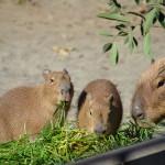 食事中のカピバラの表情は真剣そのもの! 上野動物園のカピバラ一家観察日記 その3
