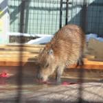 みんな元気な長野県須坂市動物園のカピバラたちはおやつの笹の葉を奪い合うように食べまくる! 冬の岐阜長野温泉巡りの旅 その25