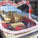 須坂市動物園のバラの花びら入りのお風呂に入るカピバラたちが最高にかわいいぞ!(動画あり) 冬の岐阜長野温泉巡りの旅 その24