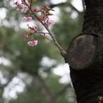 一足早いお花見散歩 PENTAX K-3に70mmの単焦点レンズを付けて上野公園のカンザクラを撮影してきた!