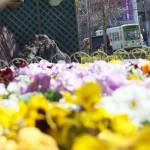 【Tokyo Train Story】春の花咲く都電荒川線沿線