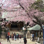 一足早いお花見へ 上野公園内にある五條天神社の満開の桜を撮影してみた!