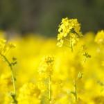 あたり一面黄色の世界!浜離宮恩賜庭園の菜の花畑は想像上にみごとな春景色だった!