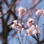 台東区谷中の福相寺で見かけた梅でも桜でもないピンクの小さな花は杏の花だった!