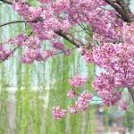 【東京春景色】満開に近づきつつある桜を上野公園と不忍池でお花見 シグマの105mmマクロレンズでの桜撮影が楽しすぎる!