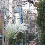 【東京春景色】根津の藍染大通りに咲く真っ白でみごとな桜