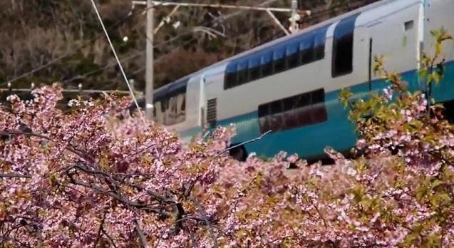 河津桜と伊豆急行線