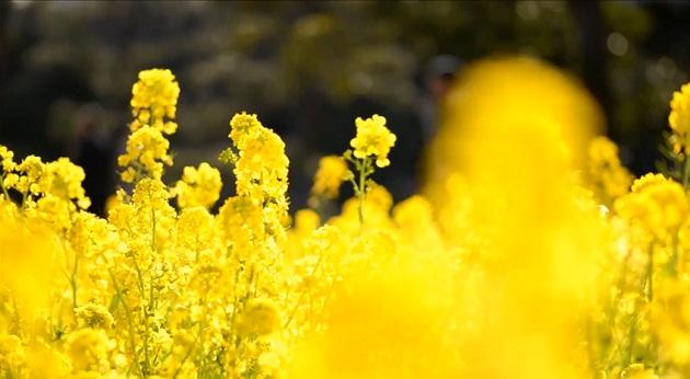 浜離宮恩賜庭園の菜の花畑