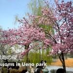 【東京春景色】不忍池と上野公園の満開に近い桜をNikon1 V1で動画撮影してみた!