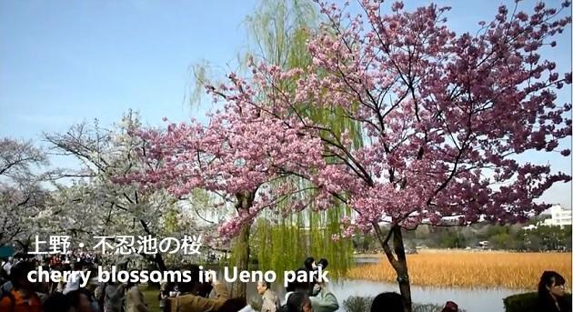 不忍池・上野公園で桜のお花見 cherry blossoms in Ueno park