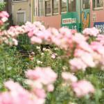 【Tokyo Train Story】バラ咲く都電荒川線沿線にて