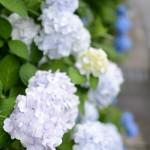 アジサイをはじめとする越後湯沢駅周辺の花々を撮影する 谷川岳山開き号の旅(七鉄ツアー2) その10