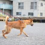 高松の名物うどん屋「赤坂製麺所」の犬のくまをお散歩させよう! 岡山たびきっぷで行く瀬戸内の旅 その28