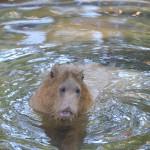 赤ちゃんカピバラがプールで泳ぐようにするためにお母さんカピバラがとった行動とは!? 夏の青春18きっぷの旅 たっぷり千葉県編 その8