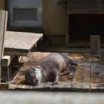 市川市動植物園のコツメカワウソにとって午前中は睡眠タイムだった 夏の青春18きっぷの旅 たっぷり千葉県編 その2