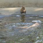 千葉市動物公園のカピバラ一家の楽しすぎる午後のひと時 夏の青春18きっぷの旅 たっぷり千葉県編 その9