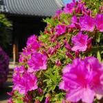 つつじ咲く、春の経王寺