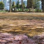 谷中・西日暮里で散り行く桜を眺める