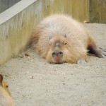 上野動物園のカピバラさんが大欠伸 リアルカピバラさん その2
