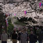 【東京春景色】飛鳥山公園の桜