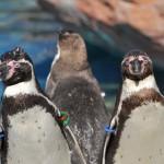 茨城県大洗水族館のペンギンはあらゆる角度で見放題! 春の青春18きっぷの旅 大洗水族館編 その7