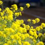 【Tokyo Train Story】線路際に咲く菜の花(東急世田谷線)