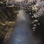 【東京春景色】目黒川の桜 その1