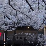 【東京春景色】目黒川の桜 その2