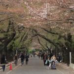 【東京春景色】谷中と上野の桜