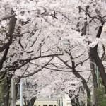 【Tokyo Train Story】桜のトンネル(都電荒川線)