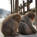 地獄谷野猿公苑のサルたちが気持ちよさげに温泉に入る姿(動画あり) 紅葉の長野旅行 その8
