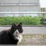 桜咲く都電荒川線沿線で出会ったモデルのようなポーズをとってくれるネコを撮影してみた