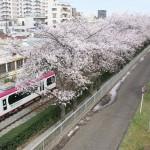 【Tokyo Train Story】桜と都電荒川線がある東京春景色