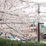 【Tokyo Train Story】飛鳥山公園の桜越しに都電荒川線を望む