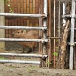上野動物園の新入りカピバラ、オスのソルの観察記録(平成24年5月4日)
