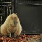 上野動物園のメスカピバラのマオとハシビロコウの観察日記(平成24年5月4日)
